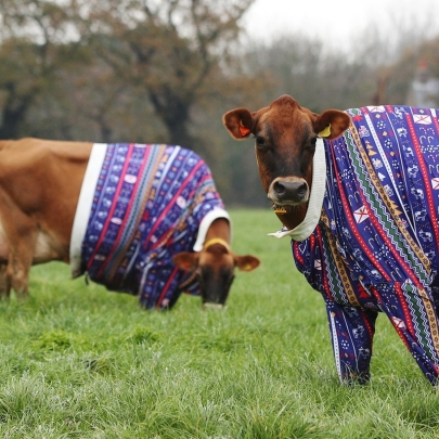 Jersey Cows in Christmas jumpers: An udderly brilliant Christmas campaign