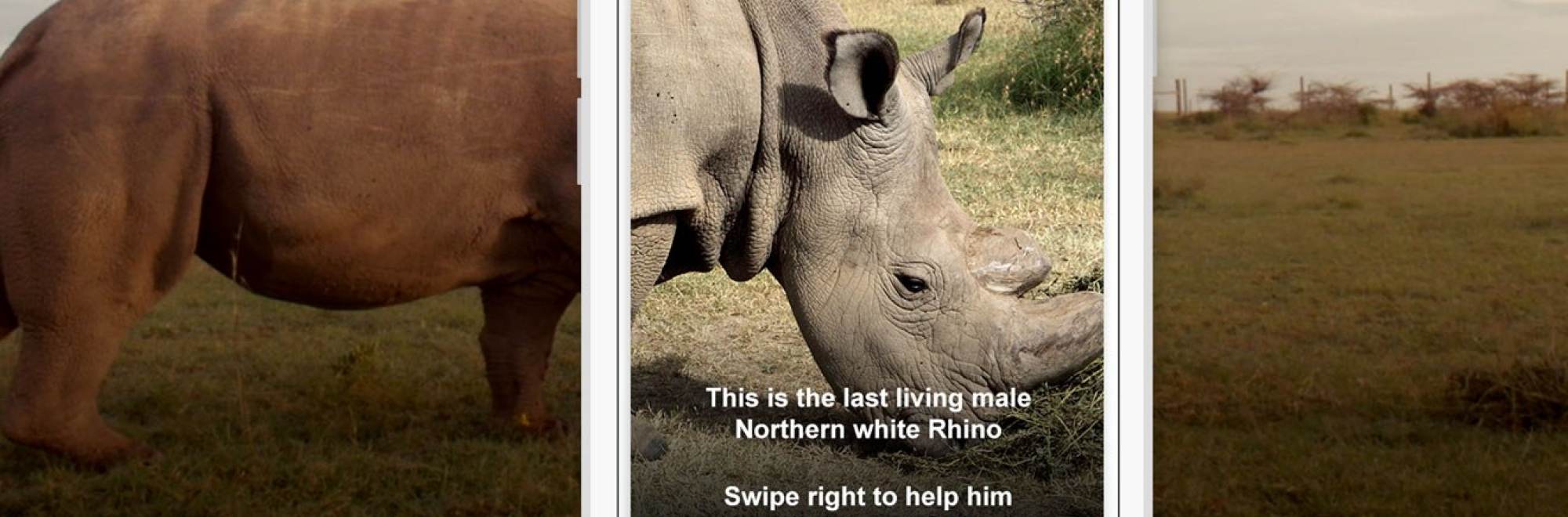 ICYMI: How a white rhino threatened with extinction looked to Tinder for a date (and donations)